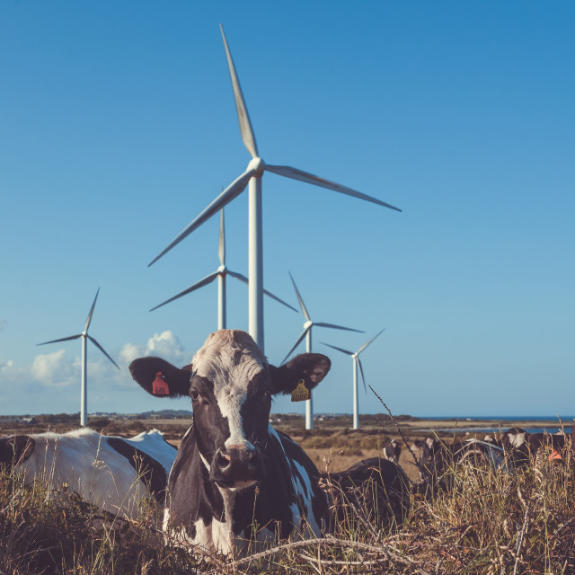 """""""Cows and wind turbines"""" stock image"""