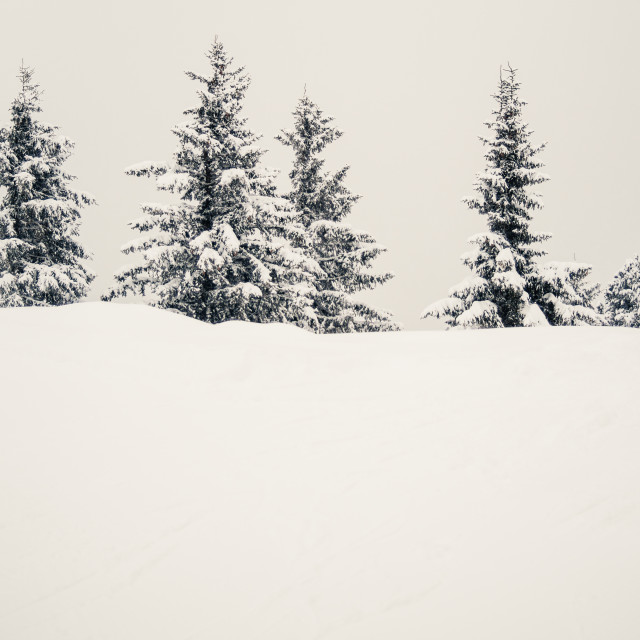 """Snow Covered Firs"" stock image"
