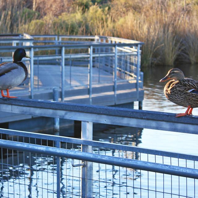 """Ducks on a railing."" stock image"