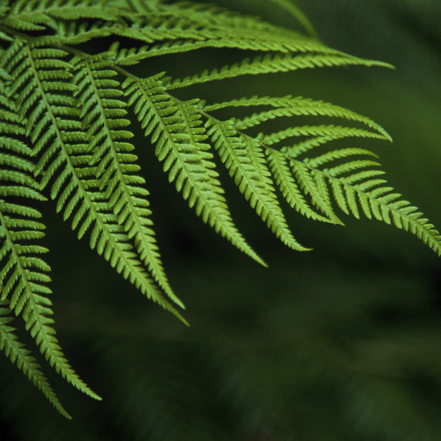 """Green Fern Leaf"" stock image"