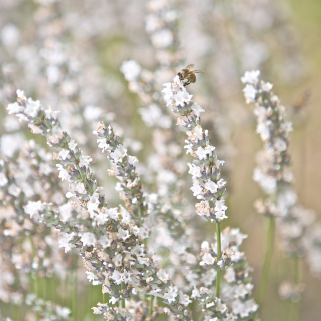 """White Lavender Flowers"" stock image"