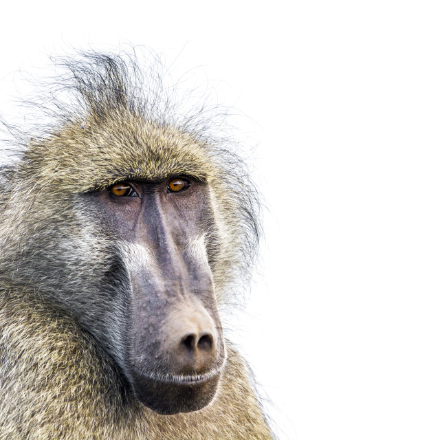 """Chacma baboon portrait isolated in white background"" stock image"