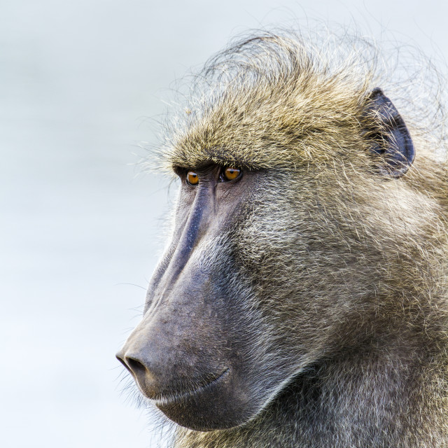 """Chacma baboon in Kruger national park, South Africa"" stock image"
