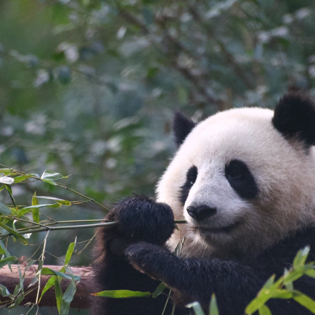 """Giant Panda"" stock image"