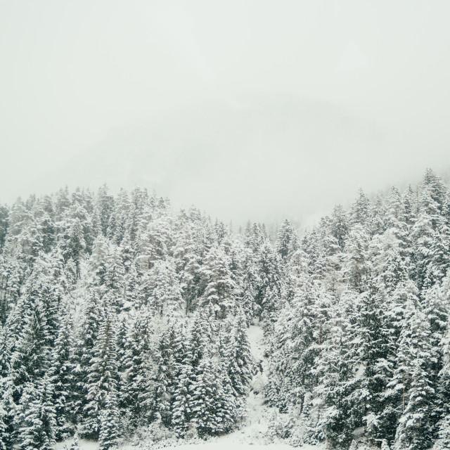 """Winter Evergreens"" stock image"