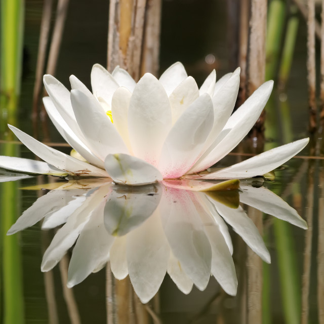 """""""White water lilly"""" stock image"""