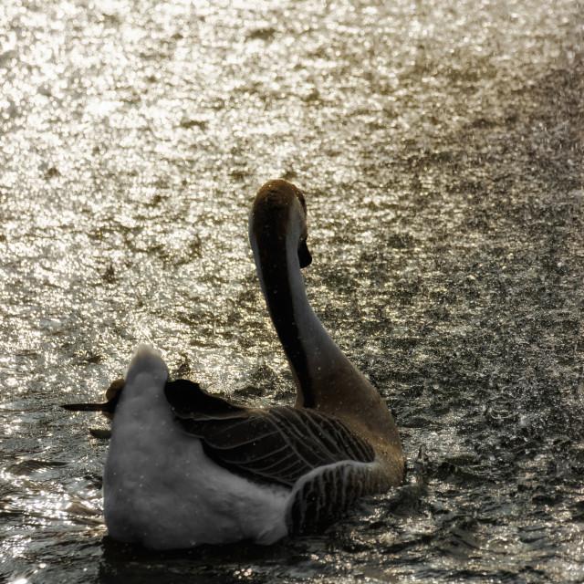 """Goose swan in the lake in the rain"" stock image"