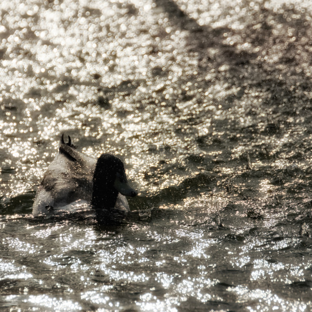 """Duck swimming in the rain"" stock image"