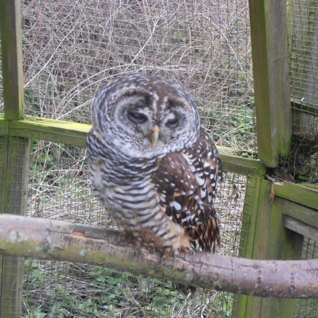 """Small Owl"" stock image"