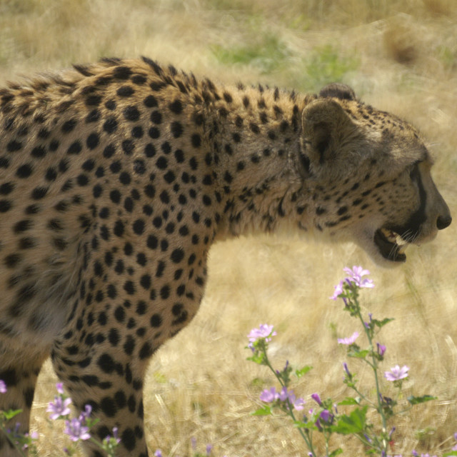 """""""Cheetah out for a stroll"""" stock image"""