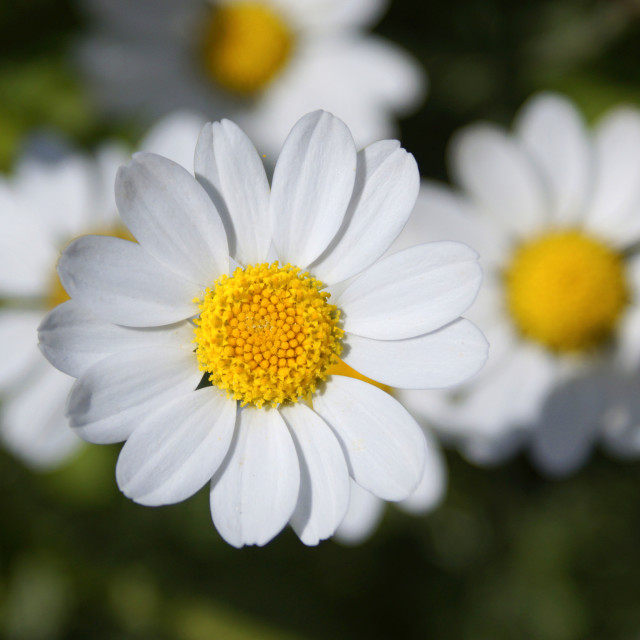 """Common Daisy"" stock image"