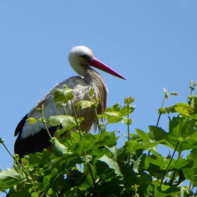 """""""White Stork of Alsace"""" stock image"""