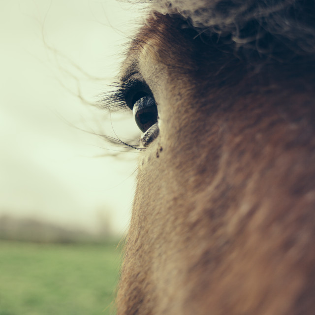 """Brown Horse Eye Closeup"" stock image"
