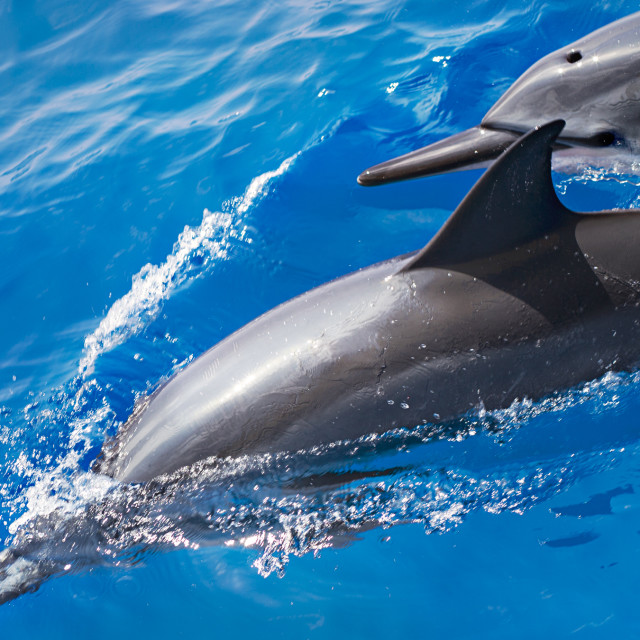 """""""Spinner Dolphins in the Wild"""" stock image"""
