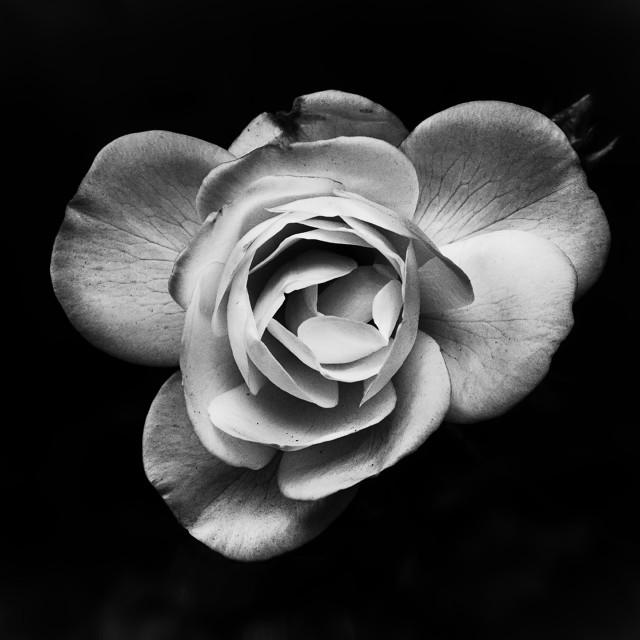 """Single Rose"" stock image"