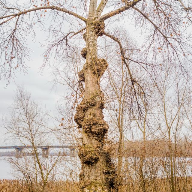 """Burls on a Poplar Tree"" stock image"
