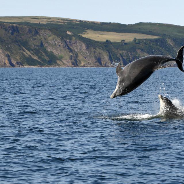 """Bottlenose dolphins"" stock image"