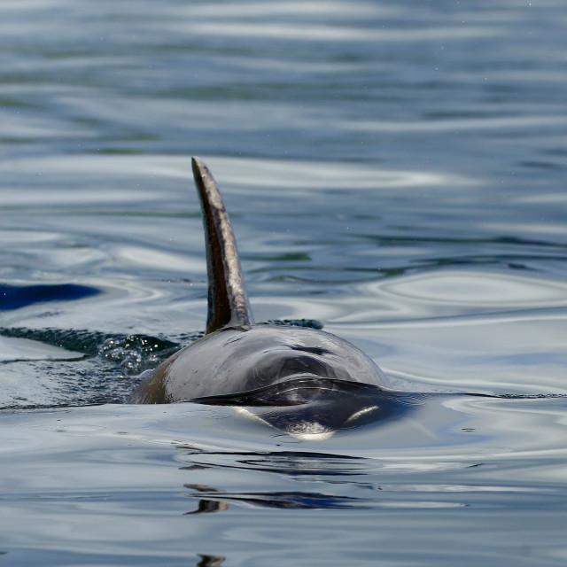 """""""Bottlenose dolphin"""" stock image"""