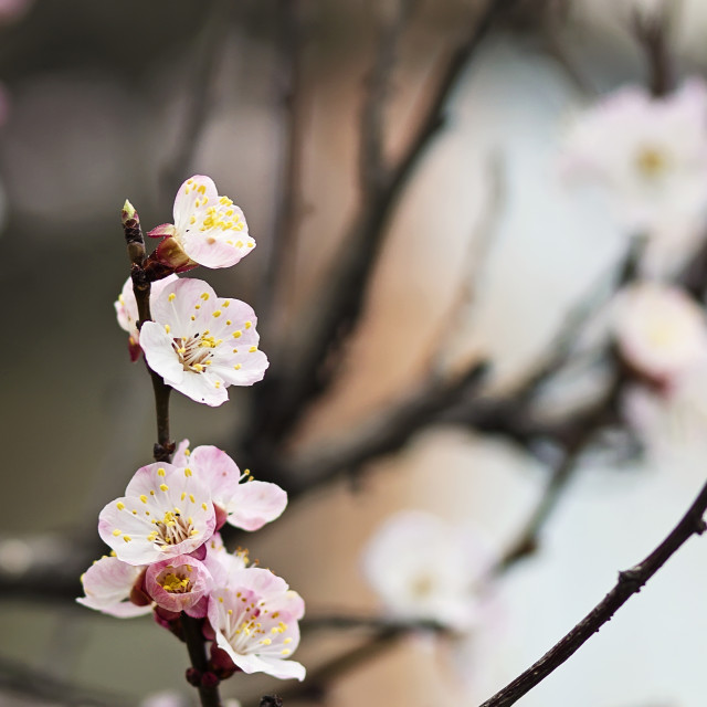 """Blooming tree branch"" stock image"