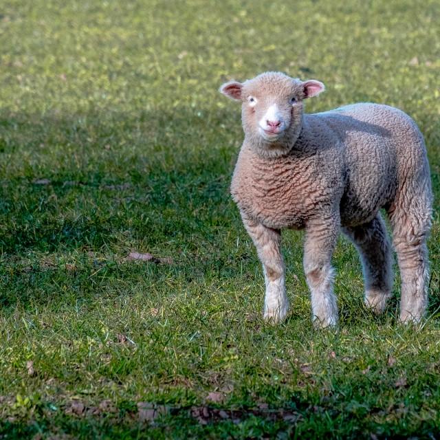 """Lost Lamb"" stock image"