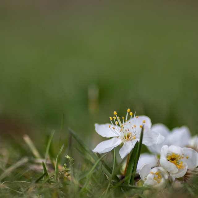 """White blossom"" stock image"