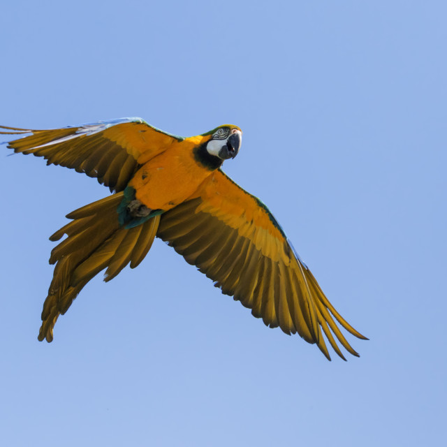 """Colourful macaw in a blue sky"" stock image"