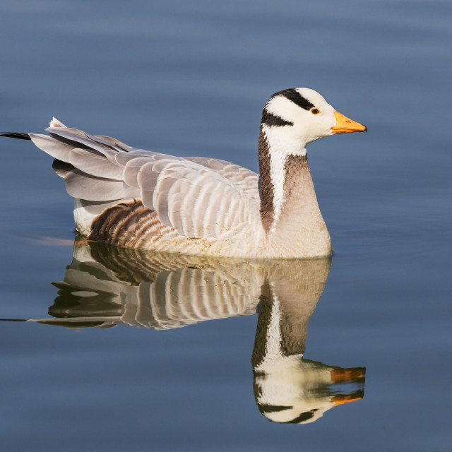 """""""Bar-headed goose and reflection"""" stock image"""