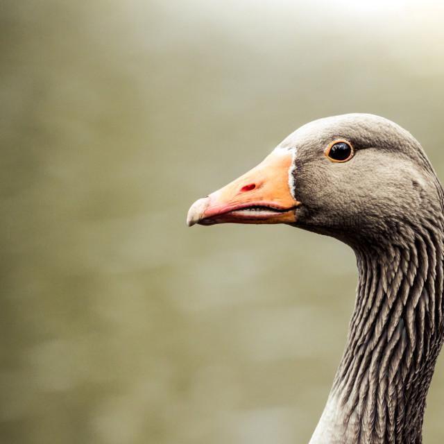 """""""Greylag Goose (Anser anser) portrait"""" stock image"""