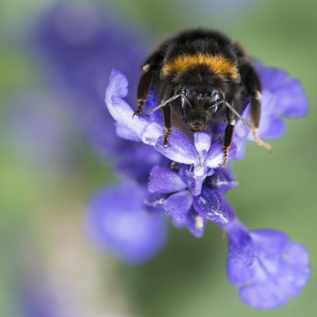 """""""Bumblebee Close-Up"""" stock image"""