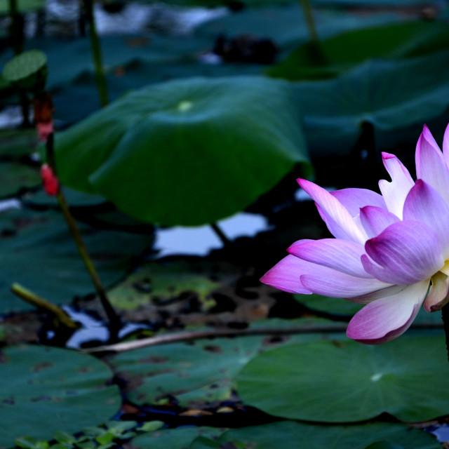 """""""Lotus"""" stock image"""