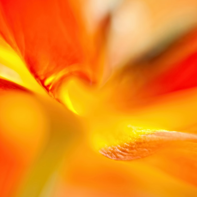 """""""Parrot Tulip Abstract"""" stock image"""