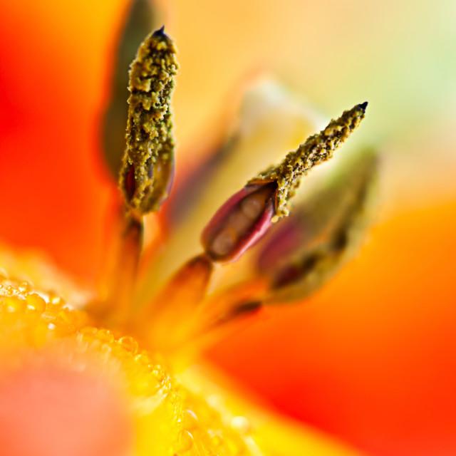 """Tulip Heart"" stock image"