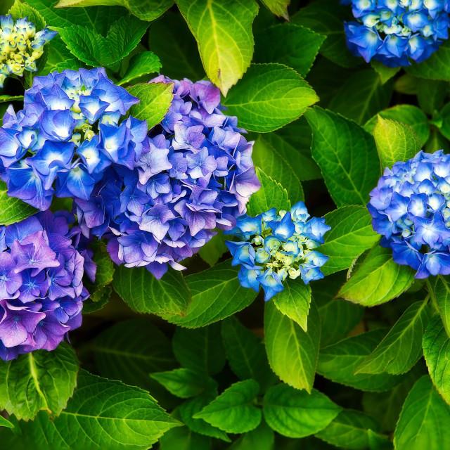 """Hydrangea Blues"" stock image"