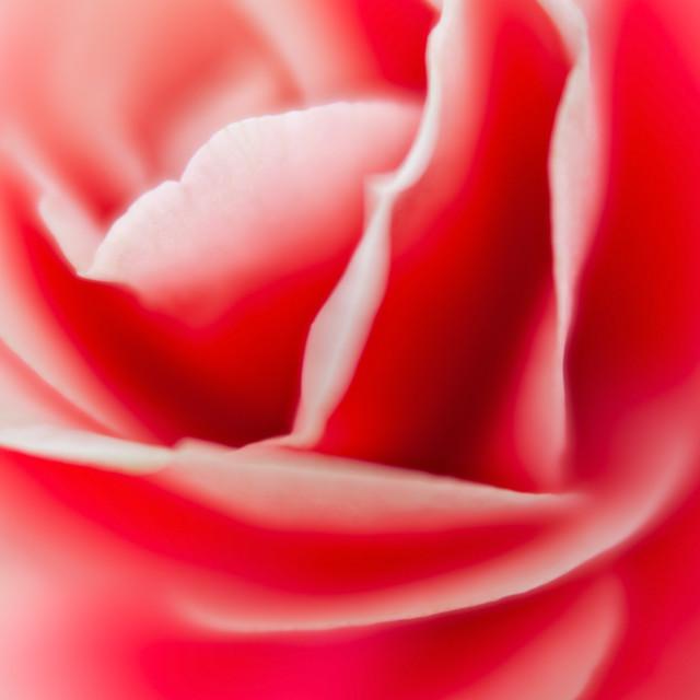 """Begonia Flower Curves"" stock image"