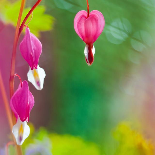 """""""Bleeding Heart Flowers"""" stock image"""