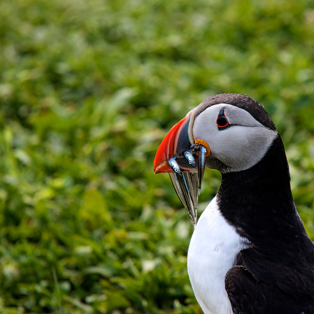 """""""Puffin with Lunch"""" stock image"""