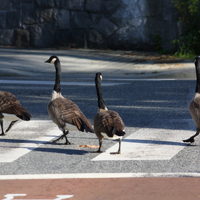 """Beatle geese"" stock image"