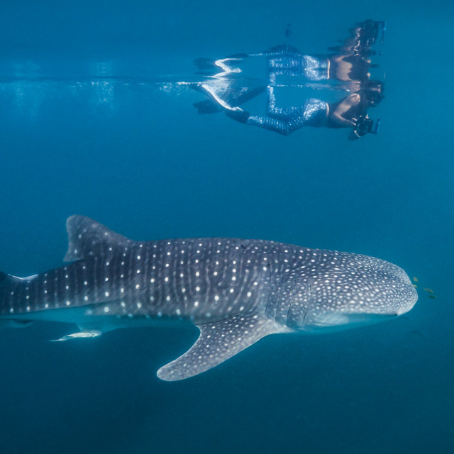"""Whale shark watching"" stock image"