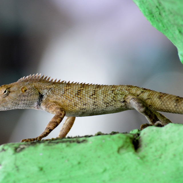 """Indian garden lizard."" stock image"