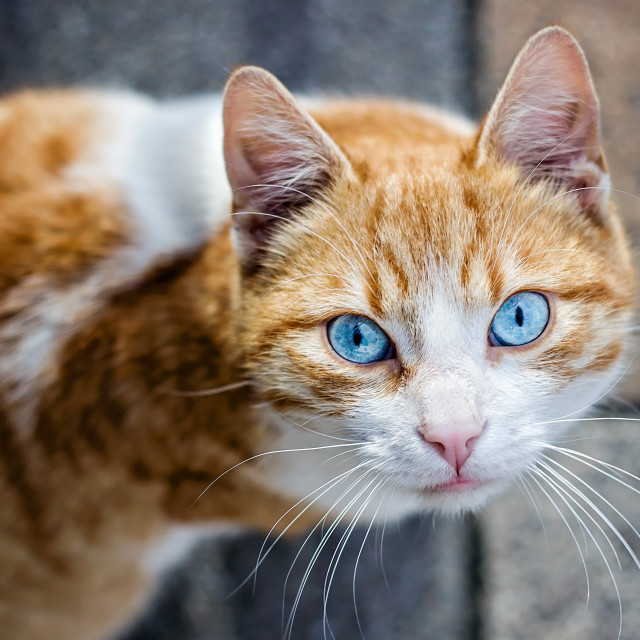 """Beautiful orange cat"" stock image"