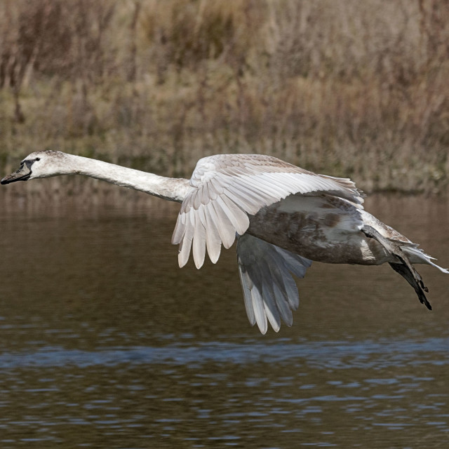 """Juvenile Mute Swan in Flight"" stock image"