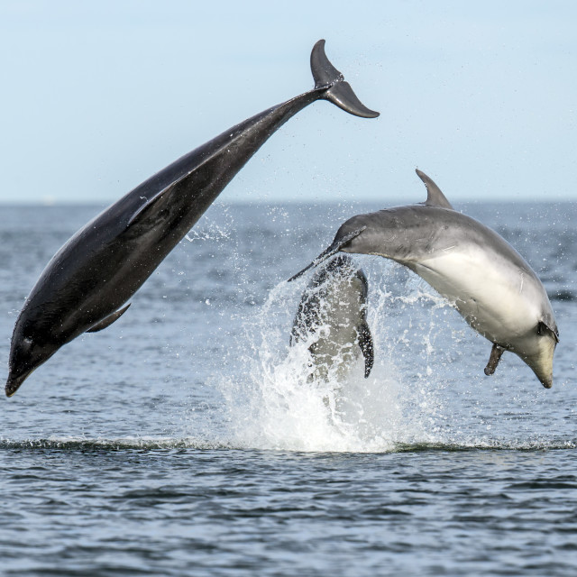 """Bottlenose Dolphin Fun 2"" stock image"