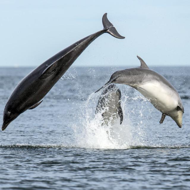 """Bottlenose Dolphin Fun 2"" stock image"