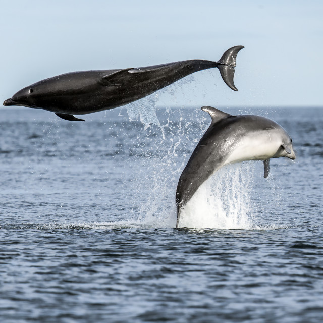 """Bottlenose Dolphin Fun 1"" stock image"