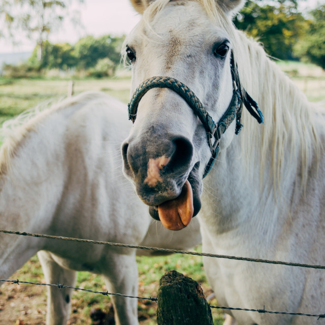 """White Horse Sticking Out Tongue"" stock image"