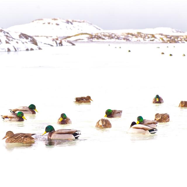 """Ducks on water"" stock image"