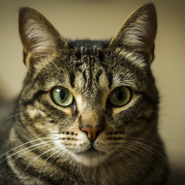 """portrait of a cat"" stock image"