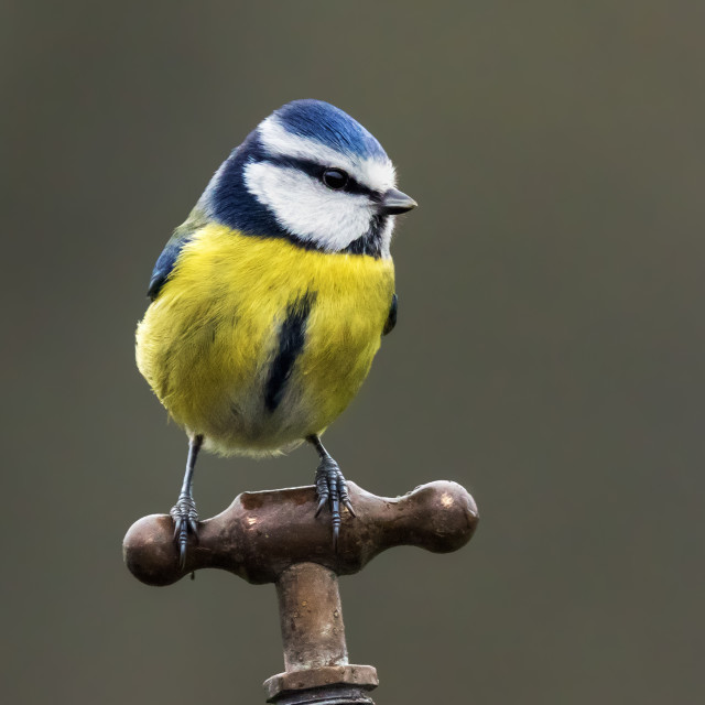 """Blue tit perched on a water tap"" stock image"