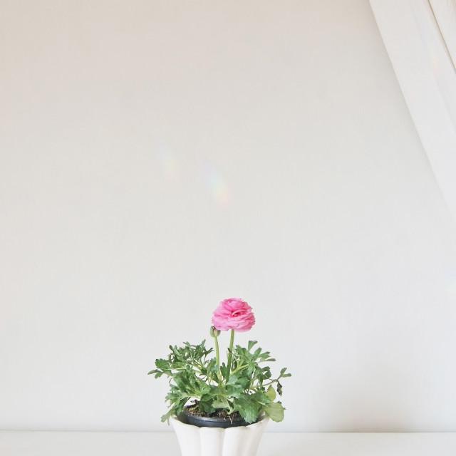 """Pink ranunculus flower in pot"" stock image"