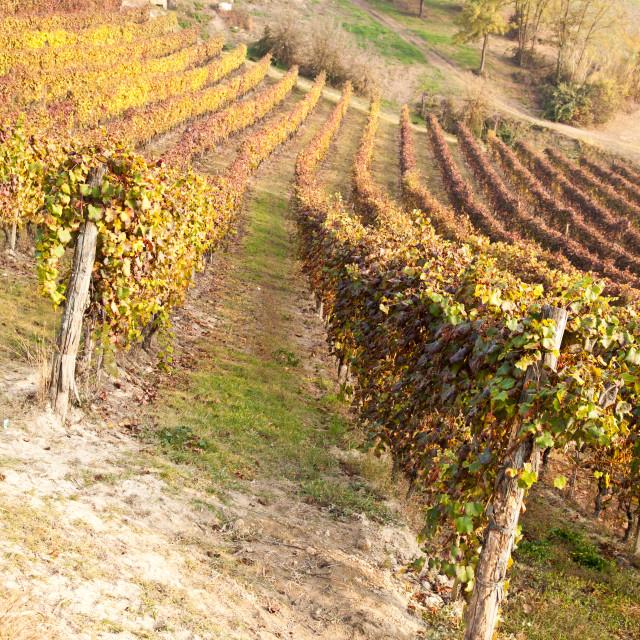 """Vineyard in autumn"" stock image"